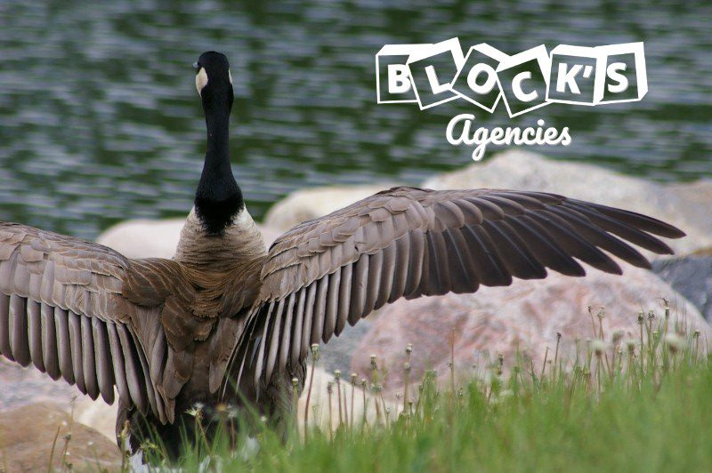 canada-goose-water-animal-canadian